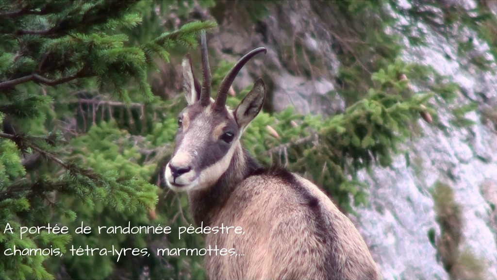 chamois-tétras-lyres-marmottes-chartreuse